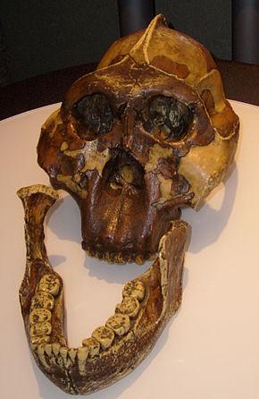 แบบจำลองของ Australopithecus boisei กะโหลกค้นพบโดยแมรี่ Leakey ในปี 1959