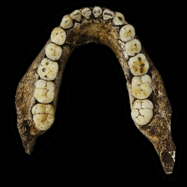 """A hand out image made available by the University of the Witwatersrand, shows a mandible occlusal of Homo Naledi, pictured in the Wits bone vault at the Evolutionary Studies Institute at the University of the Witwatersrand, Johannesburg, on September 13, 2014. The fossils are among nearly 1,700 bones and teeth retrieved from a nearly inaccessible cave near Johannesburg. The fossil trove was created, scientists believe, by Homo Naledi repeatedly secreting the bodies of their dead companions in the cave. Analysis of the fossils -- part of a project known as the Rising Star Expedition -- was led in part by paleoanthropologist John Hawks, professor of anthropology at the University of Wisconsin-Madison. AFP PHOTO/HO/ WITS UNIVERSITY/JOHN HAWKS ==RESTRICTED TO EDITORIAL USE - MANDATORY CREDIT """"AFP PHOTO/HO/ WITS UNIVERSITY/JOHN HAWKS"""" - NO MARKETING NO ADVERTISING CAMPAIGNS - DISTRIBUTED AS A SERVICE TO CLIENT - AFP IS NOT RESPONSIBLE FOR ANY DIGITAL ALTERATIONS TO THE PICTURE'S EDITORIAL CONTENT, DATE AND LOCATION =="""